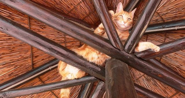 cat stuck in rafters